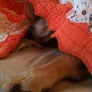 dog sleeping under quilt